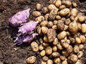 Freshly Harvested Potatoes And Kohlrabi