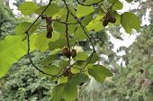 Actinidia Fruit On The Liana