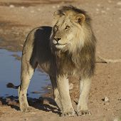 Kgalagadi Lion King