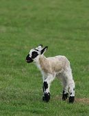 stock photo of the lost sheep  - white and black speckled lamb standing  in a field in spring with its tongue out crying - JPG