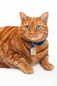 pic of blue tabby  - Portrait of an overweight orange Tabby cat wearing a blue collar and tags - JPG