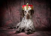 spoiled dog - german shorthaired pointer wearing a crown on purple background