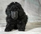 stock photo of standard poodle  - standard poodle puppy laying down looking at viewer  - JPG