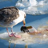 Duck Vs. Gull Or And The Winner Is...: