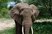 stock photo of mud  - adult elephant cooling himself with mud in one of tanzania national parks - JPG