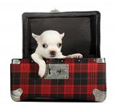 White chihuahua puppy small dog peeps from plaid suitcase