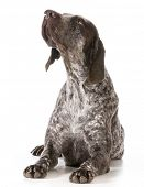 german shorthaired pointer looking up isolated on white background