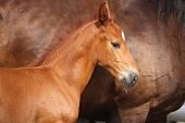 stock photo of mare foal  - Beautiful chestnut foal portrait in summer in rural area - JPG