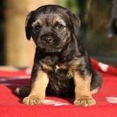 pic of border terrier  - Nice border terrier puppy looking at you - JPG