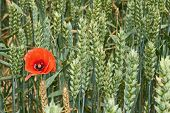Red Poppy Flower Among Green Wheat Ears