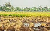 In Rice Cultivation.