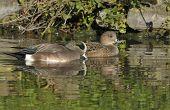 American Wigeon Ducks