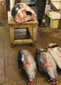 foto of yellowfin tuna  - Giant Yellowfin Tuna about to be turned into sushi in a Tokyo fish market - JPG