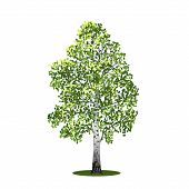 picture of birching  - detached tree birch with leaves on a white background - JPG