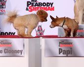LOS ANGELES - FEB 14:  George Clooney the dog, Papi at the Mr. Peabody honored with Pawprints in Cem