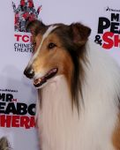 LOS ANGELES - FEB 14:  Lassie at the Mr. Peabody honored with Pawprints in Cement at TCL Chinese The