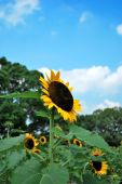 A Single Sunflower Towering Above The Rest