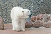 Beautiful Polar Bear Near The Stone Wall