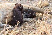 picture of hyenas  - Hungry hyena pups drinking milk from mother suckle lying down