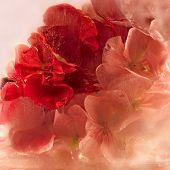 Frozen Pink Pelargonium Flower