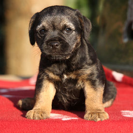 stock photo of border terrier  - Nice border terrier puppy looking at you - JPG