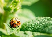 stock photo of potato bug  - The Colorado potato striped beetle (Leptinotarsa decemlineata) is a serious pest of potatoes