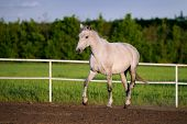 Beautiful white horse runs trot in the paddock on a background of green nature