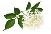 pic of elderberry  - Elderberry flower and leaves on white background - JPG