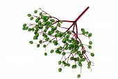 stock photo of elderberry  - Unripe fruits of elderberry on white background - JPG