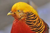 Golden Pheasant - Chrysolophus pictus