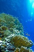 picture of fire coral  - coral reef with fire corals and exotic fishes anthias at the bottom of tropical sea on blue water background - JPG