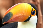 image of toucan  - Closeup of the beautiful and colorful Toco Toucan