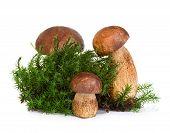 Boletus, Cep Mushroom On Forest Moss Isolated On White Background