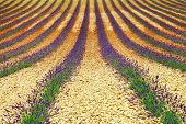 beautiful geometry of lavander' field, Valensole, Provance