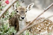 Young Deer Crouched