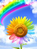 Sunflower, rainbow and frame from white clouds