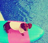 a cute dachshund on a board in a pool toned with a vintage retro instagram filter