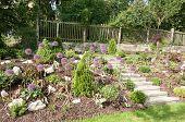 Rock garden with beautiful blooming kind of decorative garlic Star of Persia (Allium christophii)