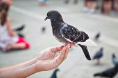 Pigeon feeding from the hand