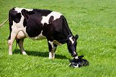 pic of calf cow  - Cow with newborn calf  - JPG
