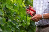 Senior winemaker in vineyard before harvest with scissors