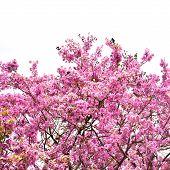 Cananga Flower