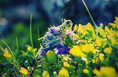 Campanula alpina