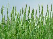Green Wheaten Field. Grain Harvest