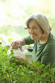 Senior woman watering plant