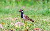 A bird, red wattled lapwing, on a green grass field