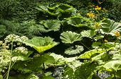stock photo of butterbur  - Giant butterbur green leaves in forest mountain river - JPG