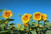 sunflowers field