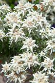 stock photo of edelweiss  - Famous flower Edelweiss  - JPG