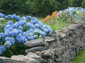 Blue Hdrangea And Summer Garden Along Rock Wall